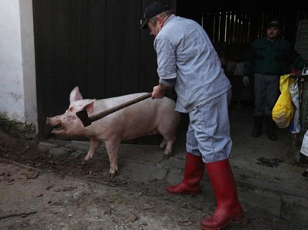 Как правильно заколоть свинью