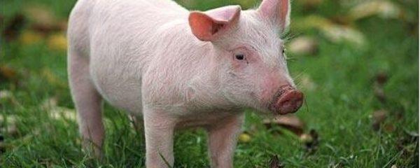 Опорос свиней, кормление свиноматок