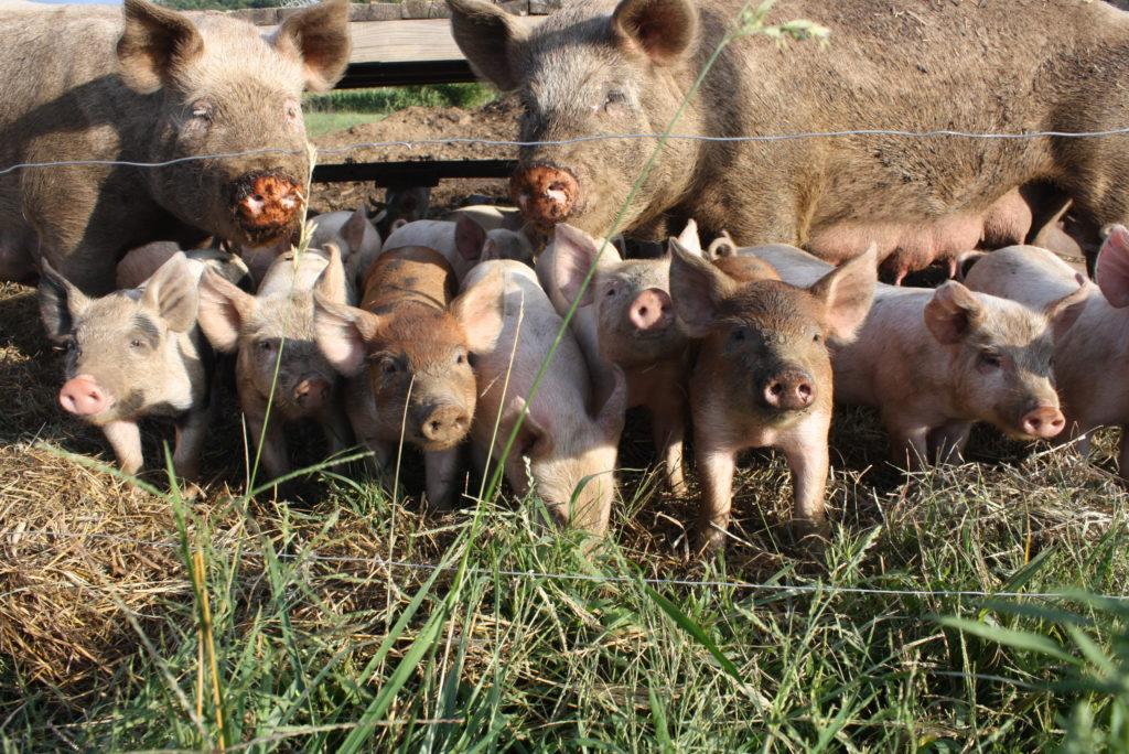 выращивание свиней