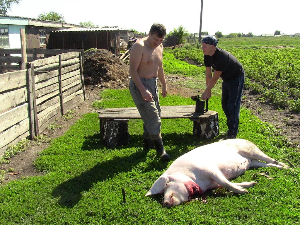 Забой свиней в домашних условиях5