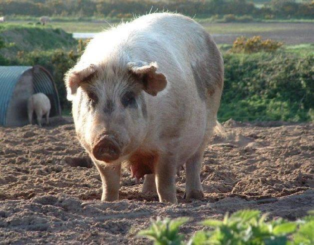 Забой свиньи в домашних условиях