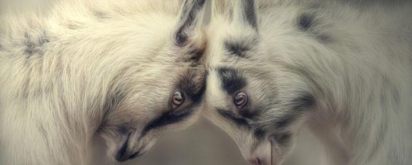 Кормление маленьких козлят после рождения