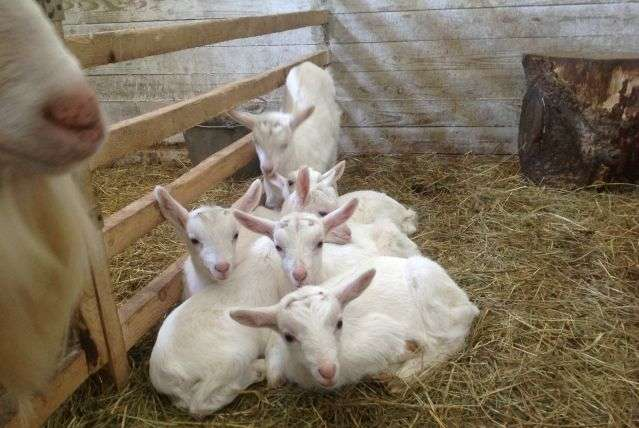 разведение коз на мясо 6