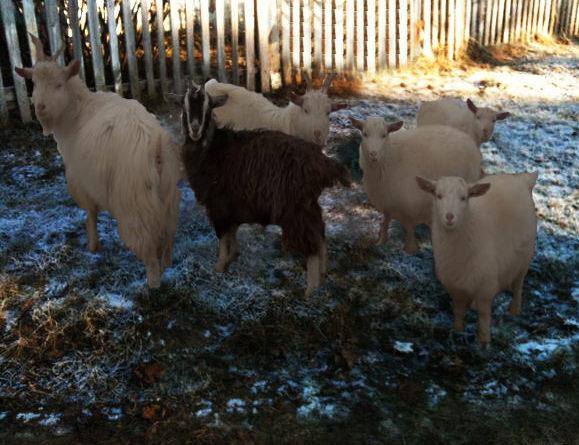 разведение коз на мясо 7